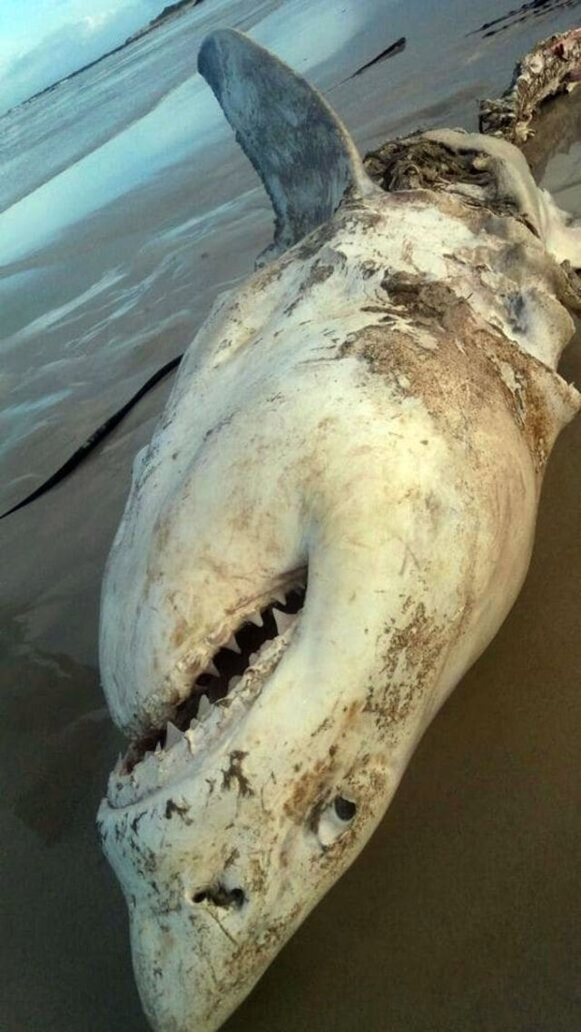 tiburon blanco3