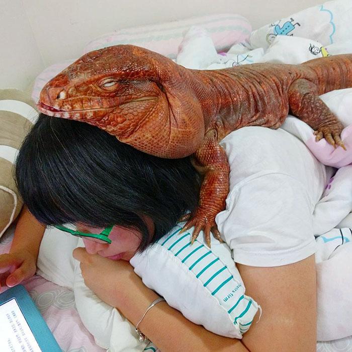 dog-sized-tegu-lizard-macgyver-argentine-12-595f901b75015__700