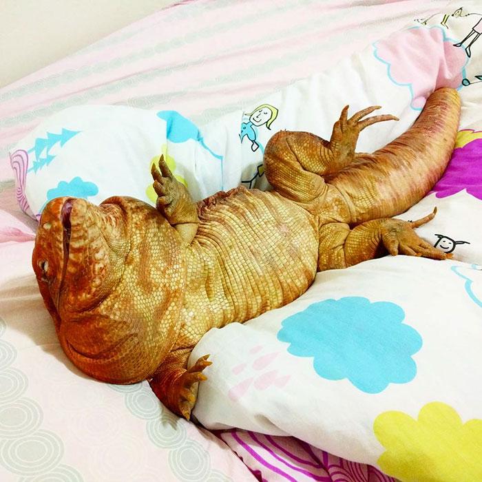 dog-sized-tegu-lizard-macgyver-argentine-13-595f901d50343__700