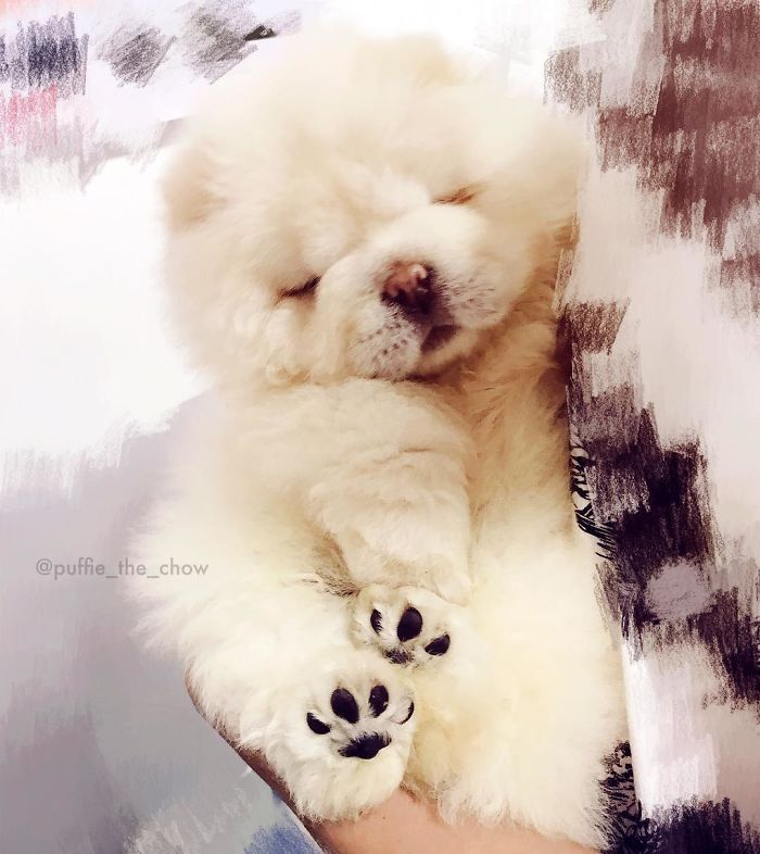 fluffy-dog-chowchow-puffie-the-chow-12-595a4fd554237__700