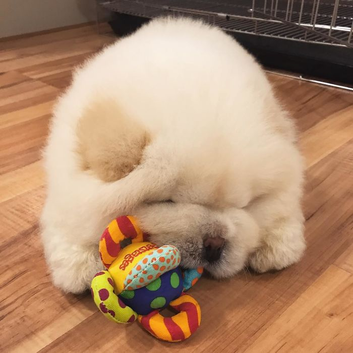 fluffy-dog-chowchow-puffie-the-chow-3-595a4fc12b90a__700