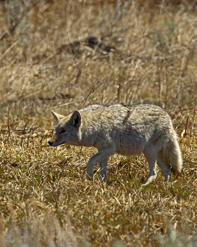 mama-coyote-embarazada.jpg.imgw.1280.1280