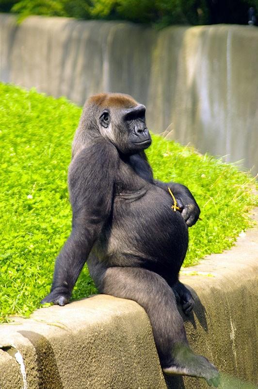 mama-gorila-embarazada.jpg.imgw.1280.1280