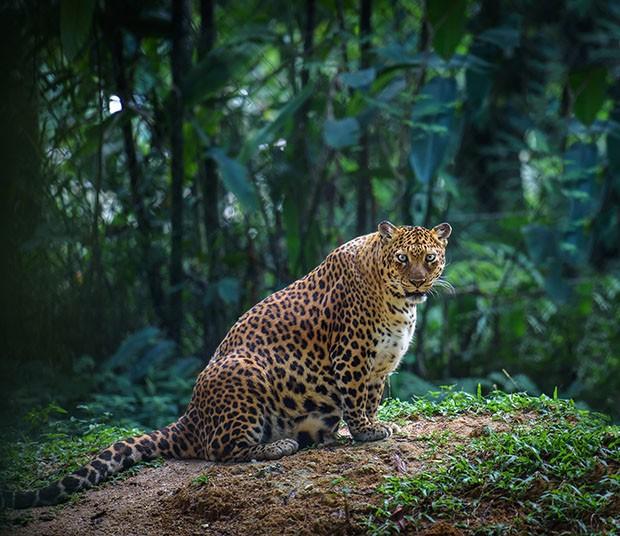 mama-leopardo-embarazada.jpg.imgw.1280.1280