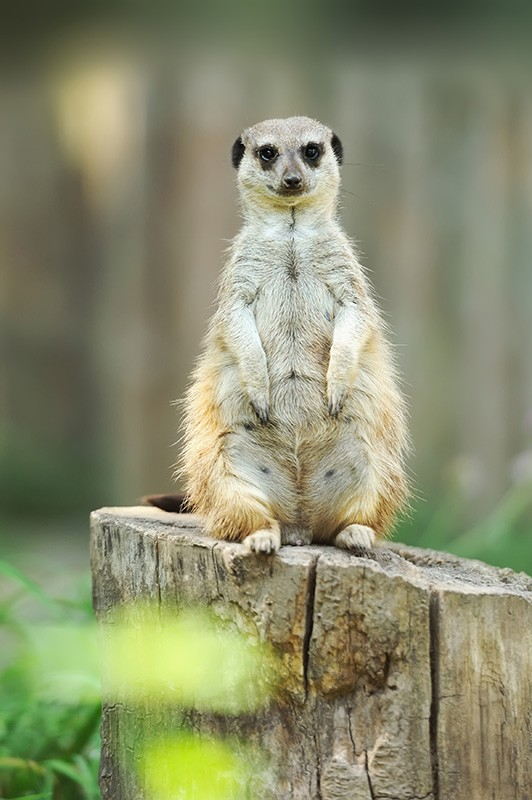 mama-suricata-embarazada.jpg.imgw.1280.1280