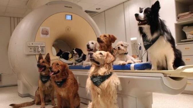 Los perros del estudio fueron sometidos a resonancia magnética para poder analizar su actividad neuronal lingüística.