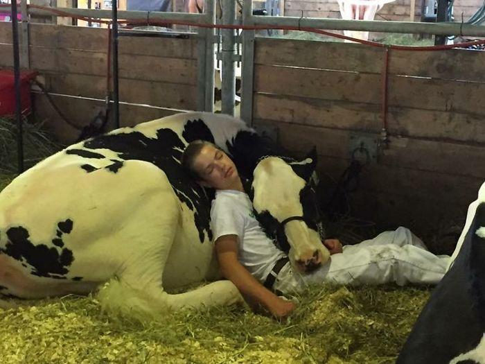 boy-cow-take-nap-together-mitchell-miner-iowa-state-fair-1-59953edf68446__700