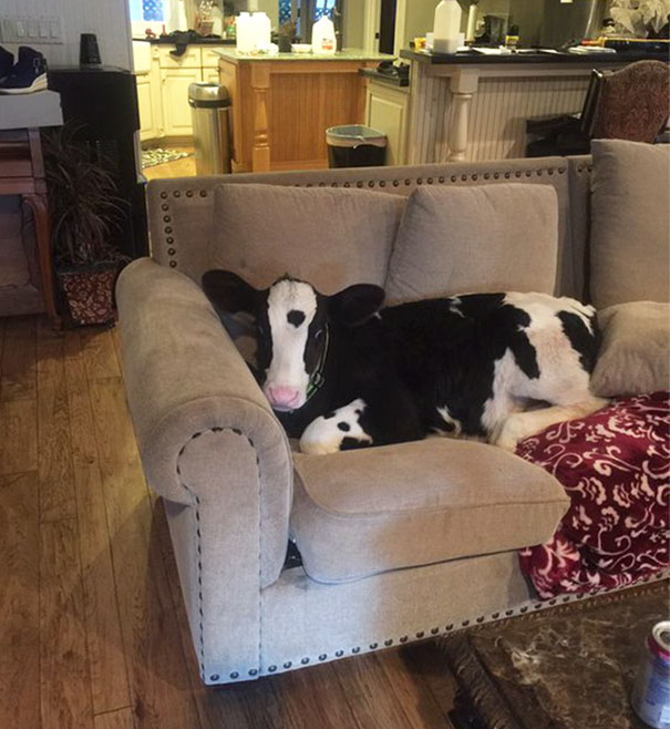 cute-cows-are-dogs-301-598466fd85f44__605