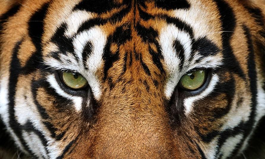 datos-sobre-tigres-1.jpg.imgw.1280.1280