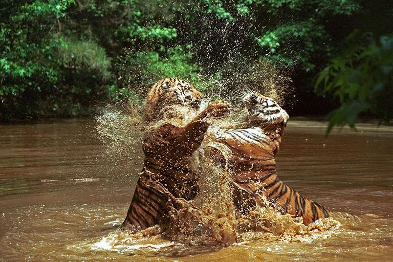 datos-sobre-tigres-10.jpg.imgw.1280.1280