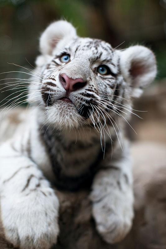 datos-sobre-tigres-11.jpg.imgw.1280.1280