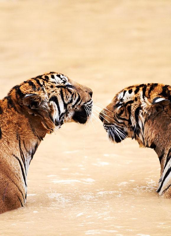 datos-sobre-tigres-2.jpg.imgw.1280.1280