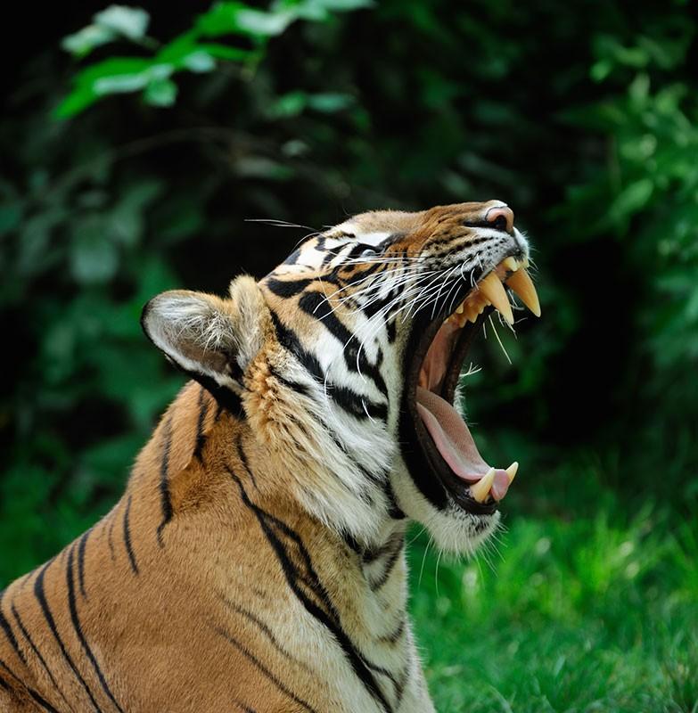 datos-sobre-tigres-3.jpg.imgw.1280.1280