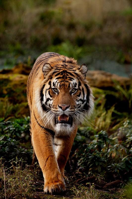 datos-sobre-tigres-4.jpg.imgw.1280.1280
