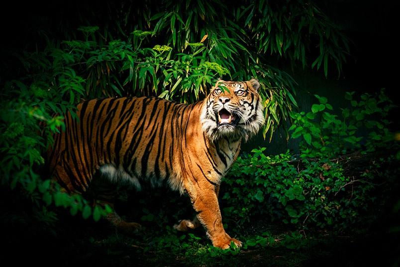 datos-sobre-tigres-5.jpg.imgw.1280.1280