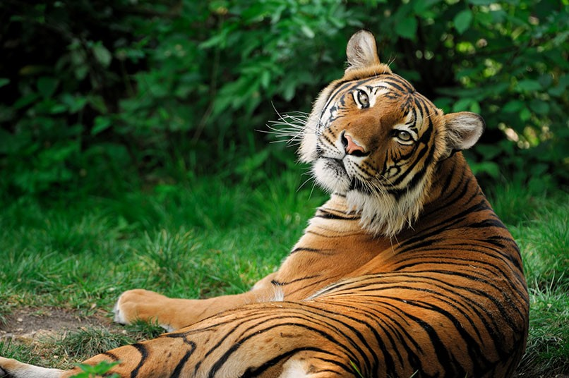 datos-sobre-tigres-6.jpg.imgw.1280.1280
