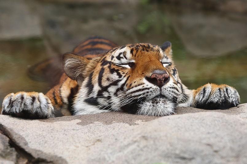 datos-sobre-tigres-7.jpg.imgw.1280.1280