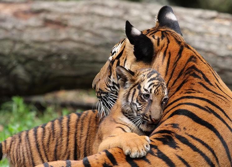 datos-sobre-tigres-8.jpg.imgw.1280.1280