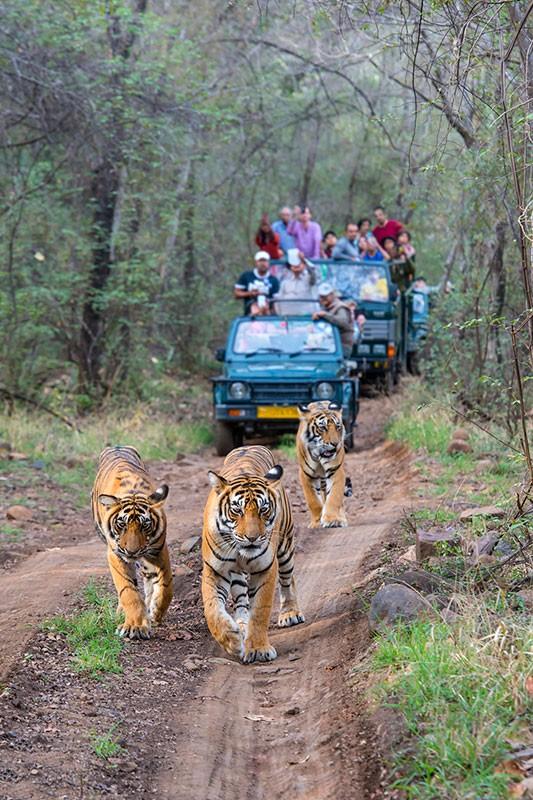 datos-sobre-tigres-9.jpg.imgw.1280.1280