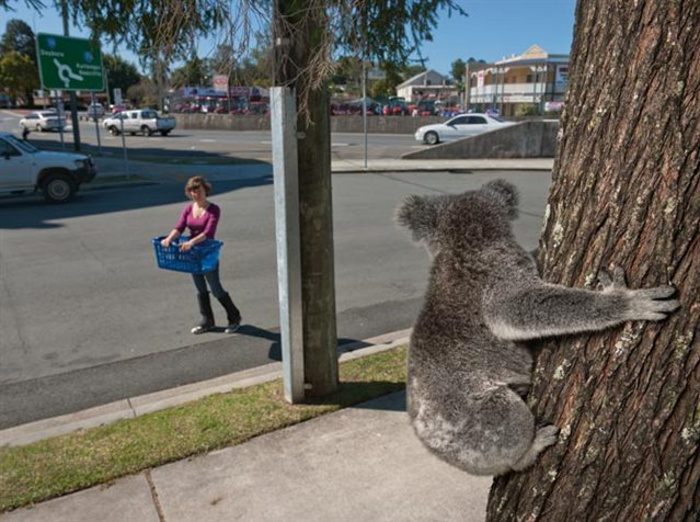 koalas02_639x476