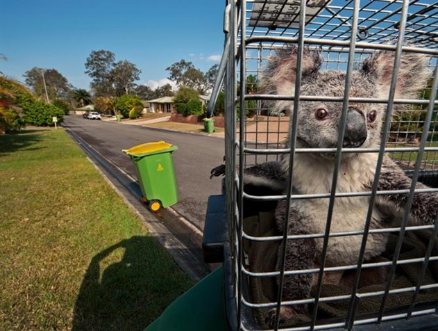 koalas06_631x476