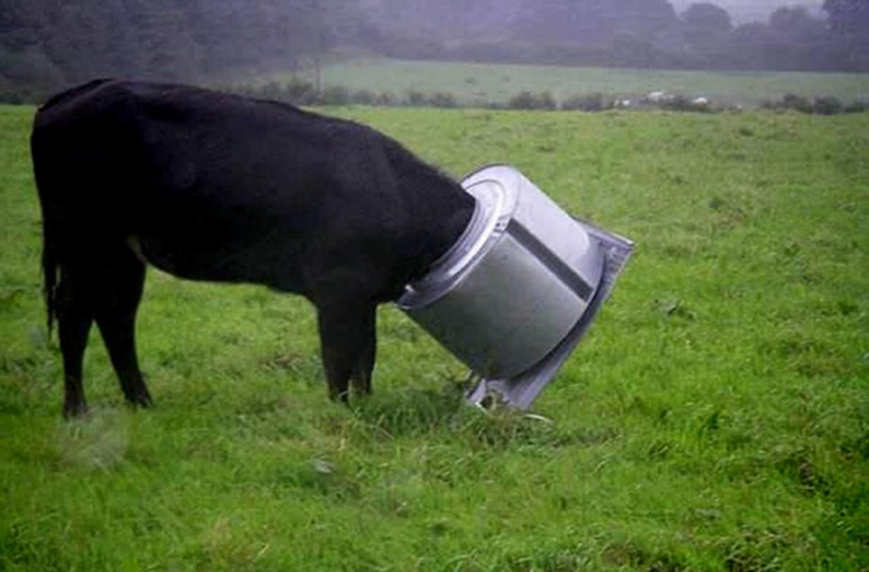 Undated RSPCA handout photo of a curious cow who got her head stuck in a fly-tipped washing machine drum in a field at Higher Fraddon, St Columb, Cornwall. PRESS ASSOCIATION Photo. Issue date: Friday August 29, 2008. The lucky cow escaped injury after her ordeal - but the animal charity today warned that fly tipping can cause animals harm. See PA story ANIMALS Cow. Photo credit should read: RSPCA/PA Wire