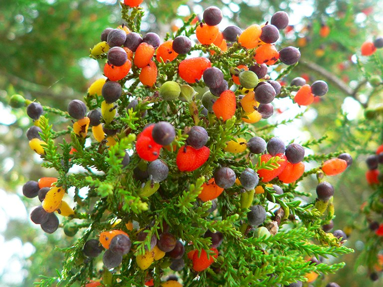 Dacrycarpus_dacrydioides_cones2