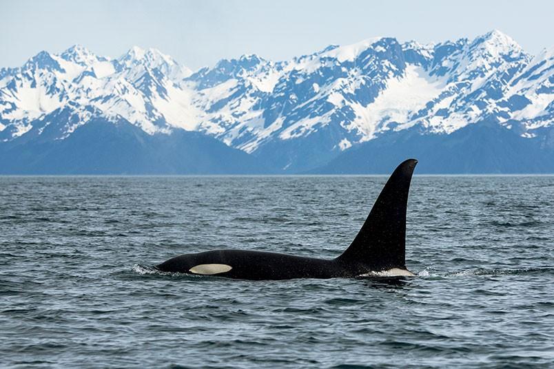 fotos-de-orcas-1.jpg.imgw.1280.1280