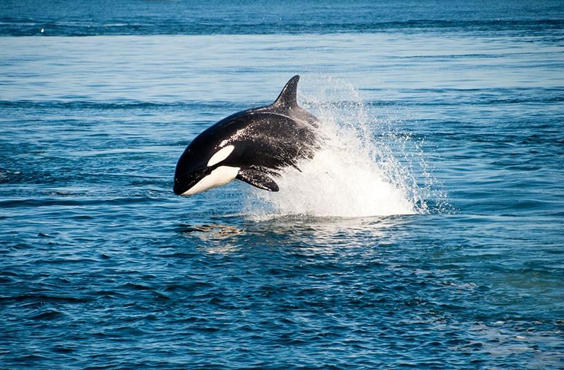 fotos-de-orcas-10.jpg.imgw.1280.1280