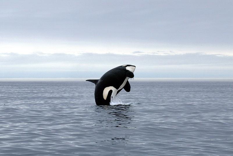 fotos-de-orcas-3.jpg.imgw.1280.1280