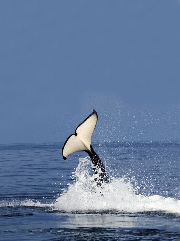 fotos-de-orcas-4.jpg.imgw.1280.1280