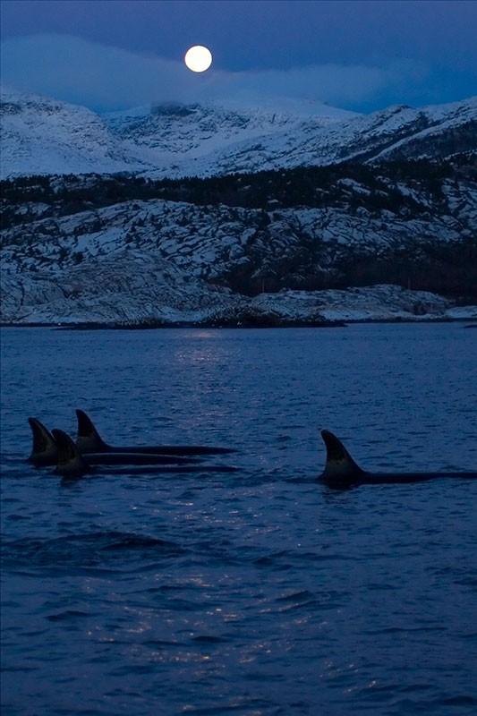 fotos-de-orcas-5.jpg.imgw.1280.1280