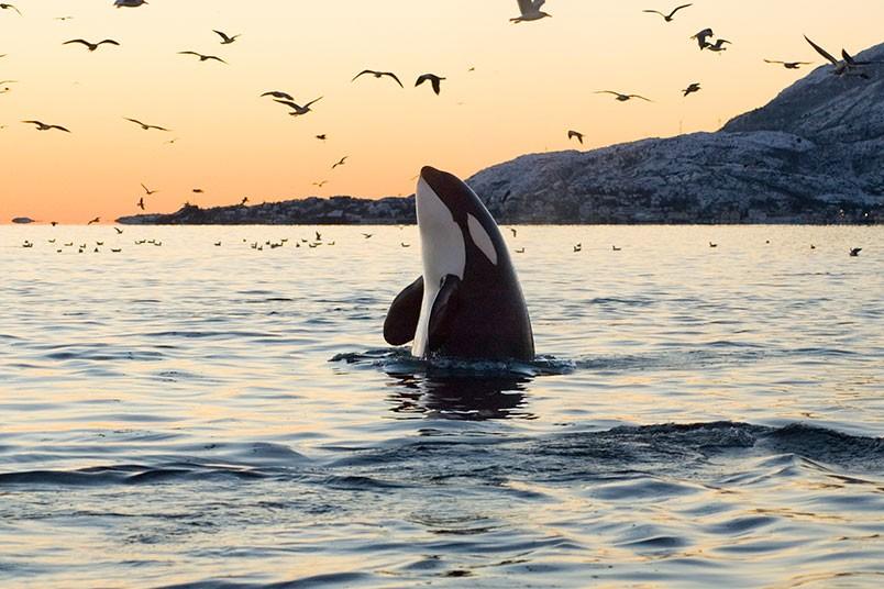 fotos-de-orcas-8.jpg.imgw.1280.1280
