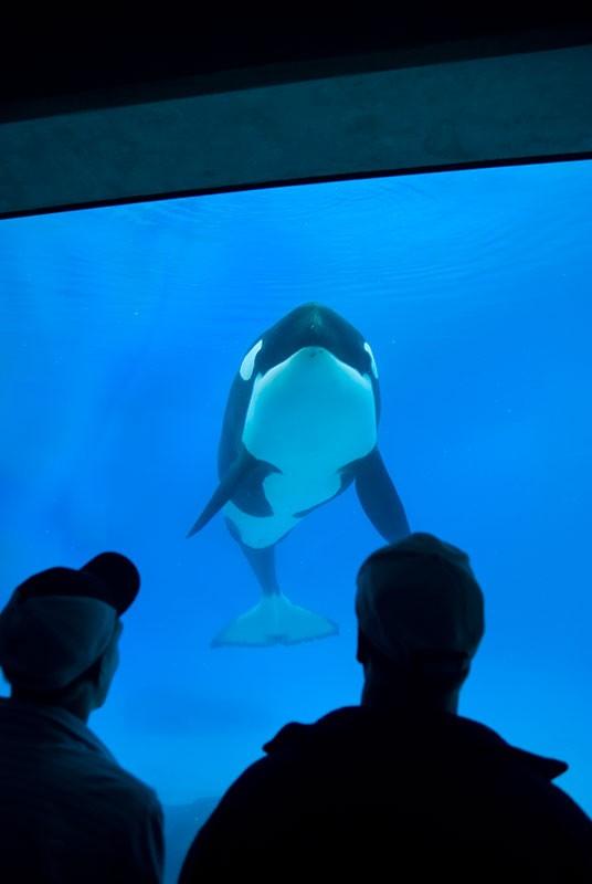 fotos-de-orcas-9.jpg.imgw.1280.1280
