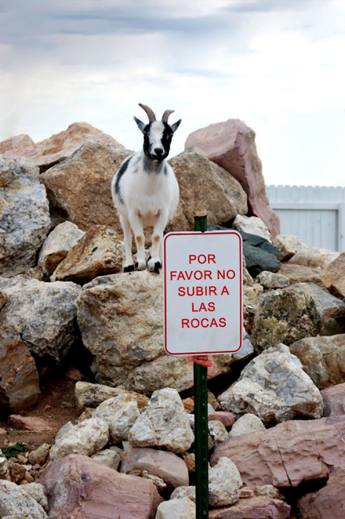 funny-animals-breaking-rules-pet-anarchists-7-59a3c069387b9__700-59a956ac77d2c__700