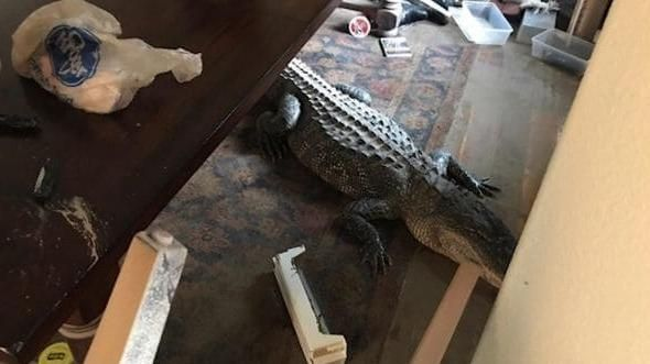 Huracan Harvey - cocodrilo 1