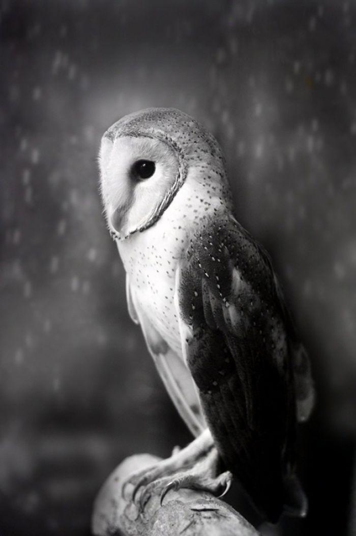 MalaysiaShamma-EsoofBarn-Owl-1-59a93bb2a9206__700