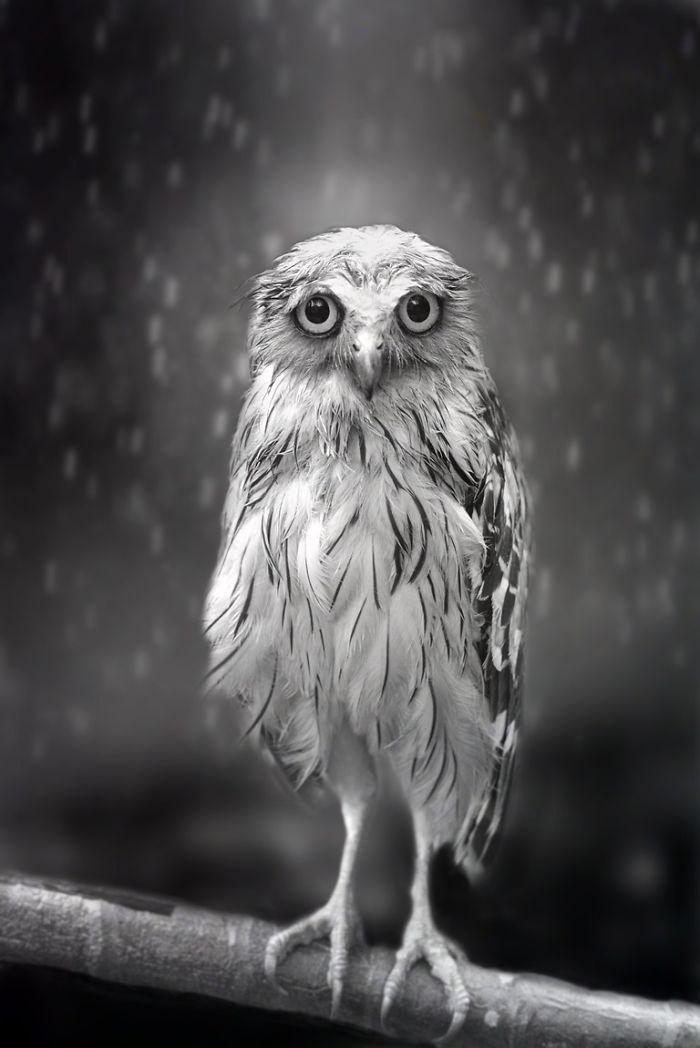 Shamma-Esoof-Owl-Portrait-submission-6-59a93d30816c2__700