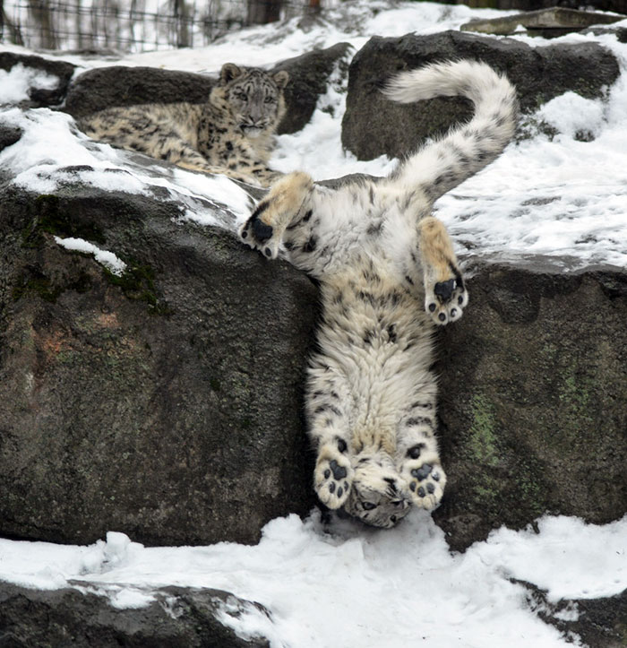snow-leopards-no-longer-endangered-101-59bf6c5693acf__700