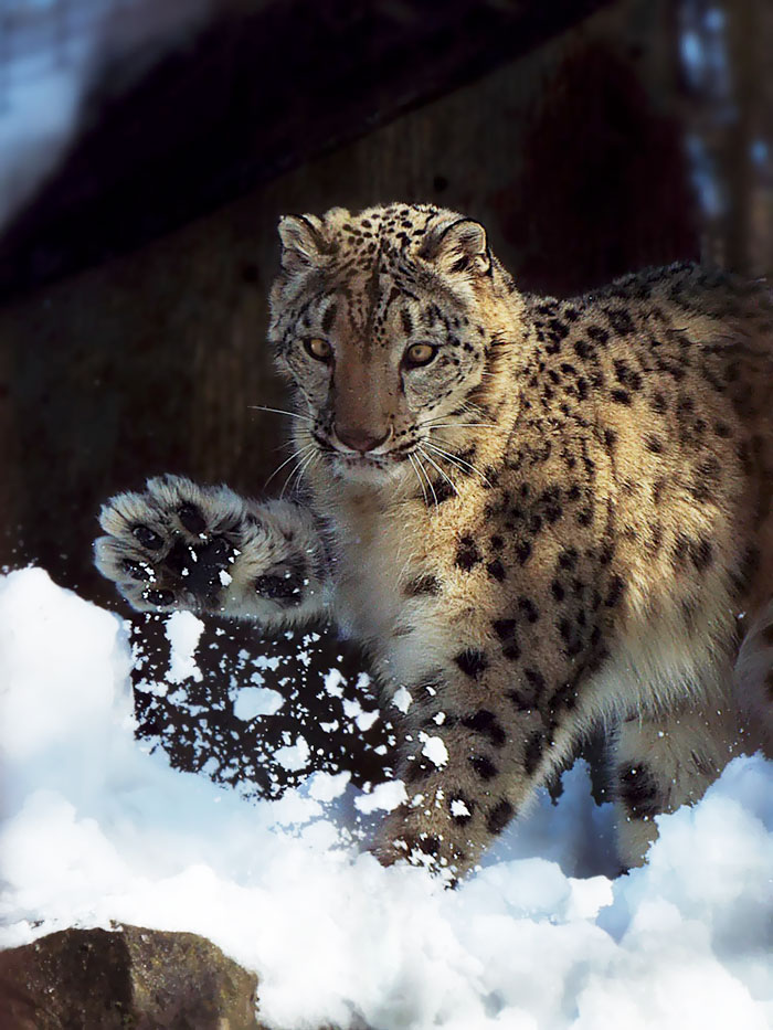 snow-leopards-no-longer-endangered-107-59bf81ccd6a71__700