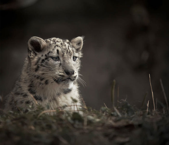 snow-leopards-no-longer-endangered-112-59bf84dc23c71__700