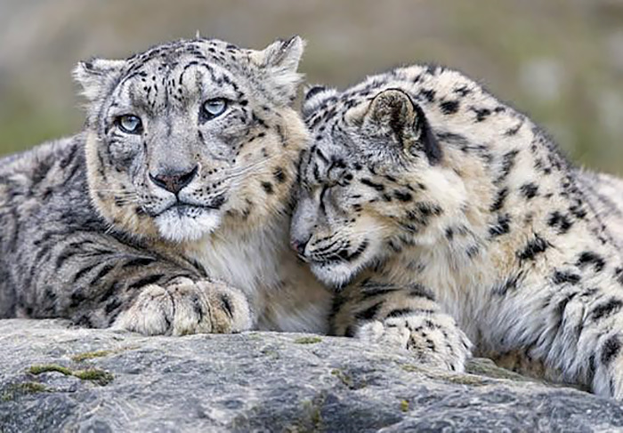 snow-leopards-no-longer-endangered-51-59bf76864cfcf-png__700