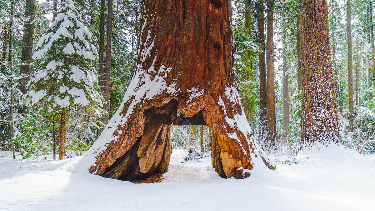 pioneer-tree-snow-calaveras-big-trees-state-parks-2016-california-state-park_06dfcf30