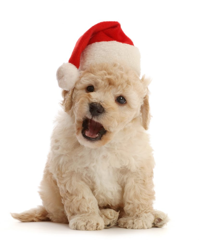 1_CATERS_cats_dogs_in_xmas_hats_002-827x1024