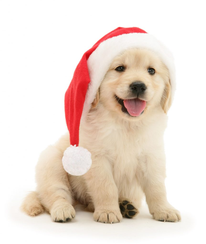 5_CATERS_cats_dogs_in_xmas_hats_006-863x1024