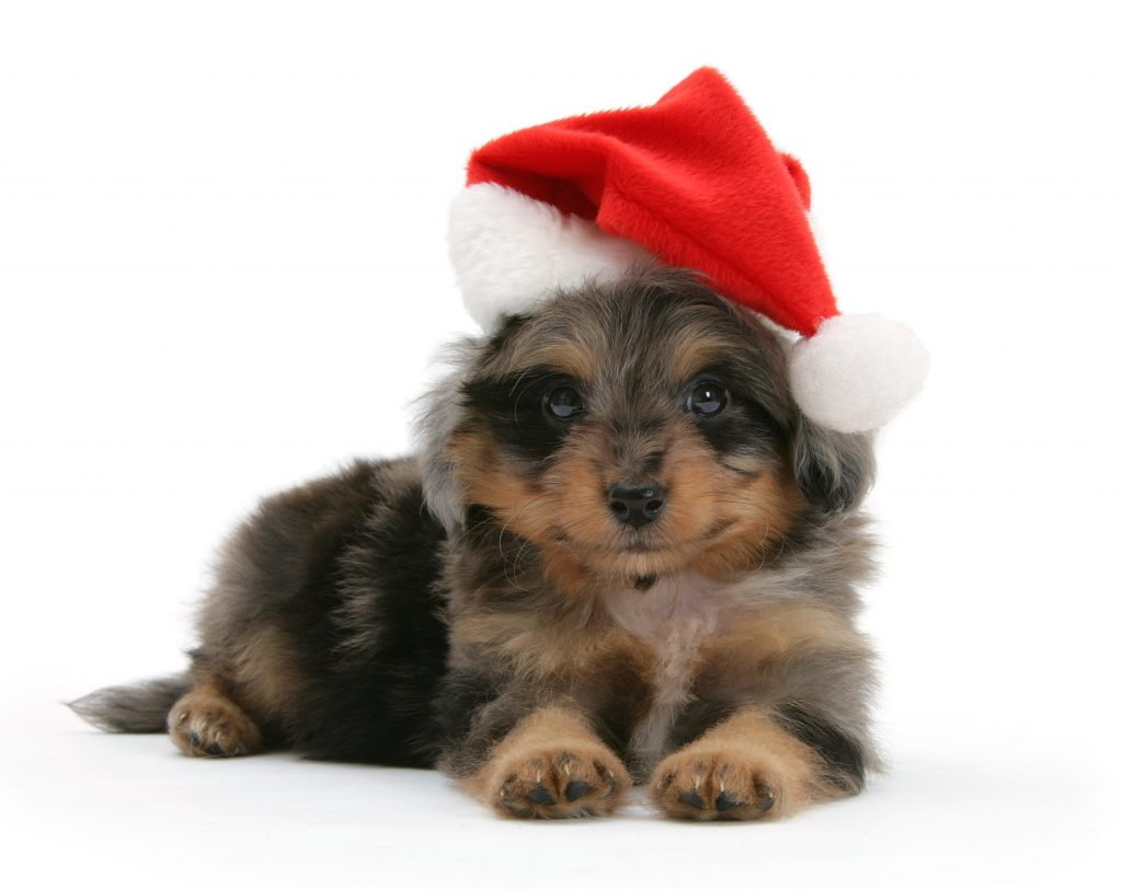 6_CATERS_cats_dogs_in_xmas_hats_007-1024x812