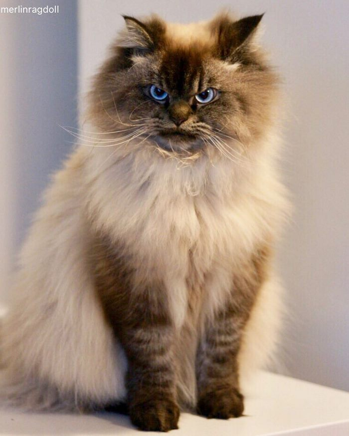 angry-cat-merlin-ragdoll-11-5a2f8ffc4293f__700