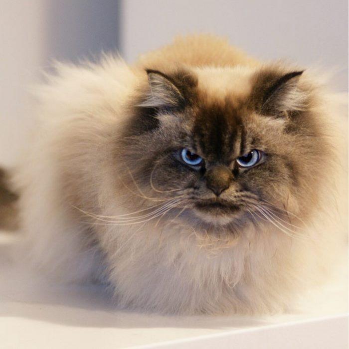 angry-cat-merlin-ragdoll-12-5a2f8ffe50979__700