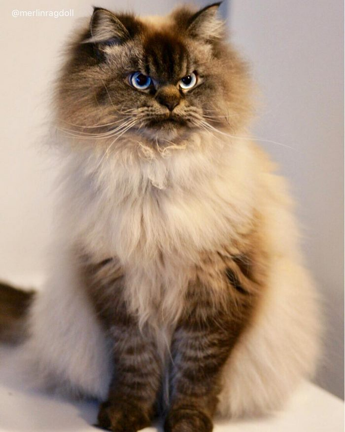 angry-cat-merlin-ragdoll-13-5a2f9000502f0__700