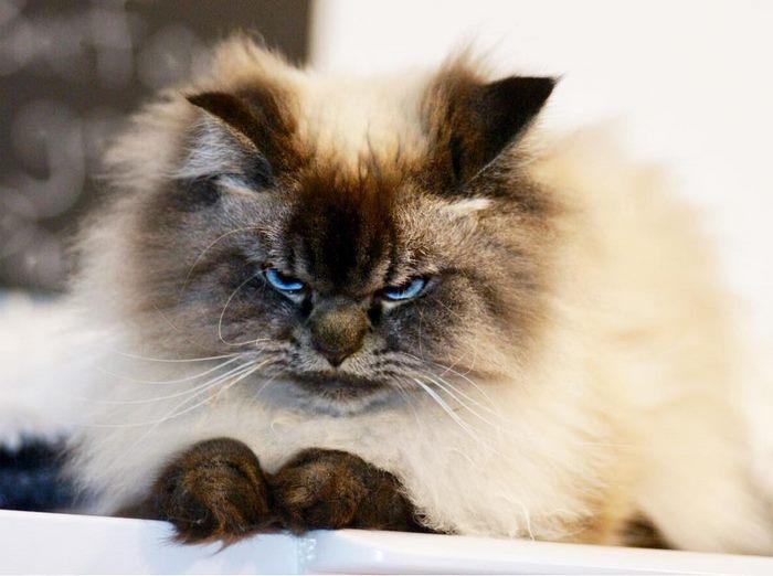 angry-cat-merlin-ragdoll-20-5a2f90134e53b__700